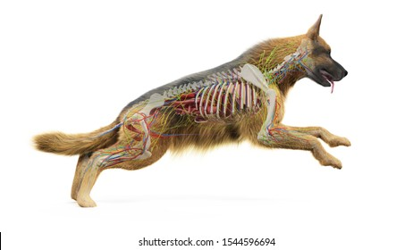 3d rendered medically accurate illustration of a dogs internal anatomy