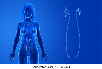 3d rendered medically accurate illustration of the female ureter