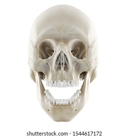 3d rendered medically accurate illustration of the skull with open jaw