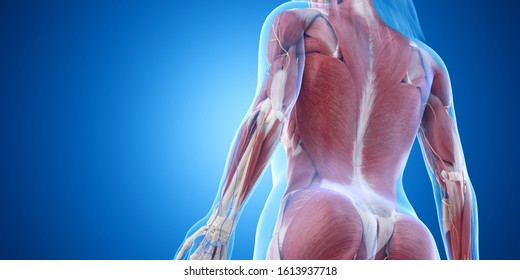 3d rendered medically accurate illustration of the back muscles