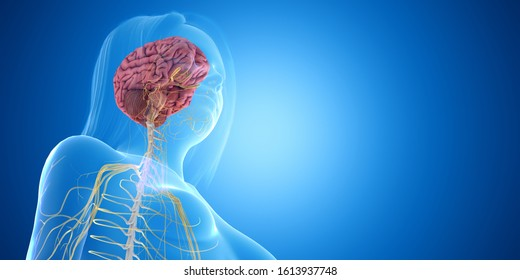 3d rendered medically accurate illustration of the brain