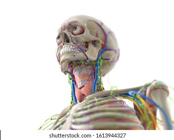 3d rendered medically accurate illustration of the head anatomy