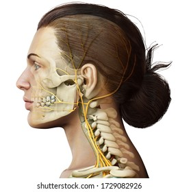 3d rendered medically accurate illustration of female head  nervous system and skeleton system