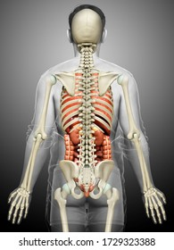 3d rendered medically accurate illustration of male  Internal organs and skeleton system