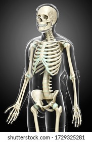 3d rendered, medically accurate illustration of a male skeleton system
