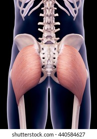3d rendered, medically accurate illustration of the gluteus maximus