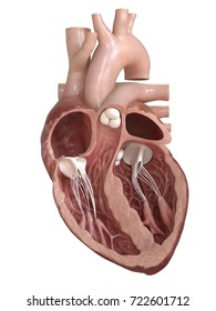 3d rendered medically accurate illustration of a heart cross-section