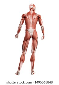 3d rendered muscle illustration of the back