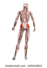 3d rendered muscle illustration of the gluteus medius