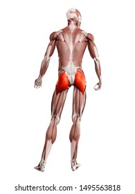 3d rendered muscle illustration of the gluteus maximus