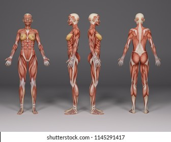 3D Rendering :a  standing female body illustration with muscle tissues display