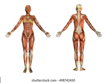 3d rendering anatomical muscles skin woman front and back view isolated on white.Anatomical plank.