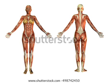 Royalty Free Stock Illustration of 3 D Rendering Anatomical Muscles ...