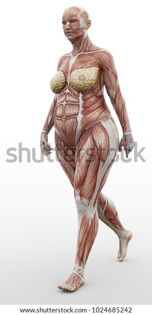 3d rendering anatomical woman fat muscles shape walking isolated on white