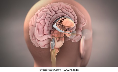 3D Rendering Brain Anatomy Illustration
