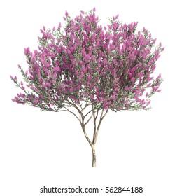 3d rendering of Crepe myrtle tree