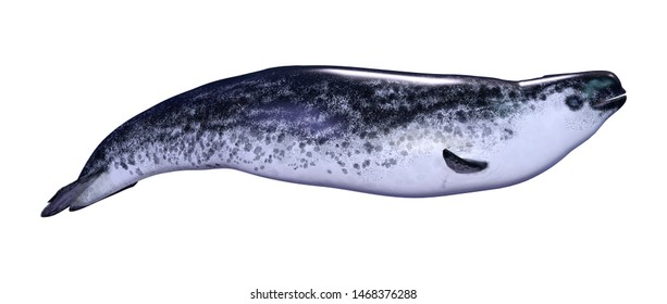 3D rendering of a female narwhal or Monodon monoceros, or narwhale isolated on white background