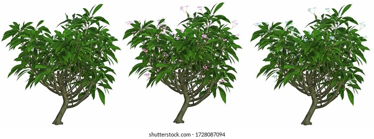 3d rendering frangipani tree with flower isolated