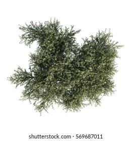 3d rendering of Fruitless Olive tree
