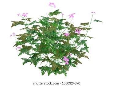 3D rendering of a Herb robert plant or Geranium robertianum or  Robertiella robertiana isolated on white background
