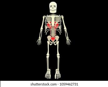 3d rendering human kidneys WITH human skelton
