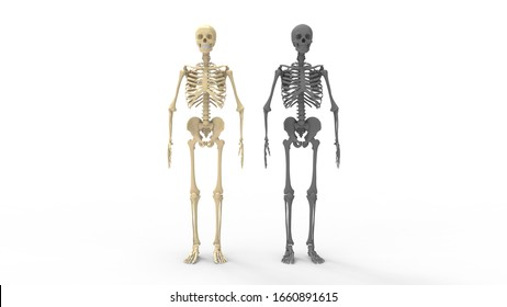 3D rendering of a human skeleton standing bones tall isolated on white
