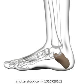 3d rendering illustration of calcaneus bone