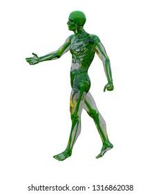 3d rendering illustration of human anatomy
