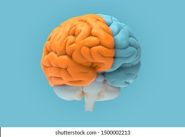 3D rendering illustration human brain left and right cerebral separate color isolated on blue background in perspective view with clipping path for die cut to layout on any backdrop