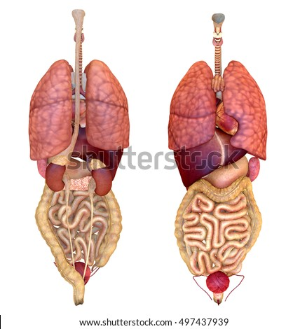 Human Internal Organs Diagram Front Trusted Wiring Diagrams