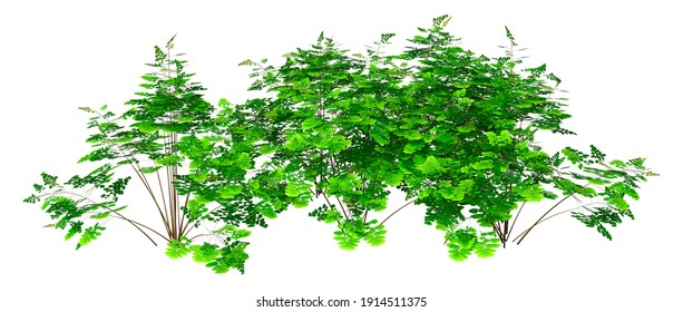 3D rendering of a maidenhair fern plant isolated on white background