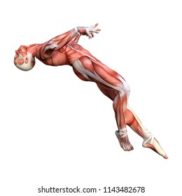 3D rendering of a male anatomy figure with muscles map isolated on white background