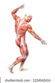 3D rendering of a male anatomy figure isolated on white background