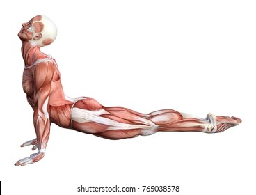 3D rendering of a male anatomy figure with muscles map exercising yoga isolated on white background