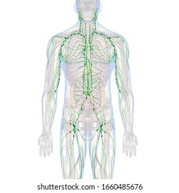 3D Rendering, Male Lymphatic System