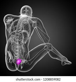 3d rendering medical illustration of the bladder - back view
