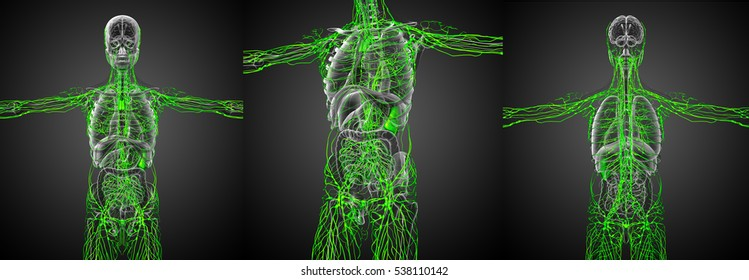3d rendering medical illustration of the green lymphatic system x-ray collection