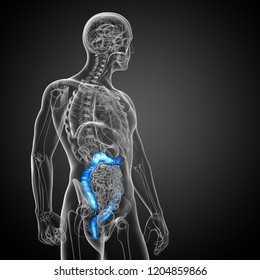 3d rendering medical illustration of the human larg intestine - side view