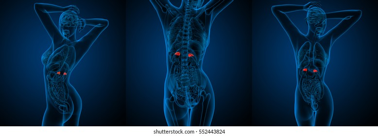 3d rendering medical illustration of the human red adrenal glands x-ray collection