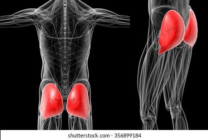 3d rendering medical  illustration of the red gluteus maximus muscle x-ray