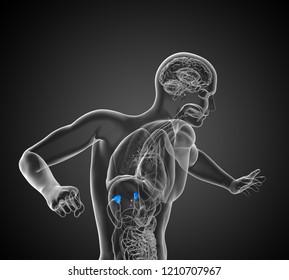 3d rendering medical illustration of the spleen - side view
