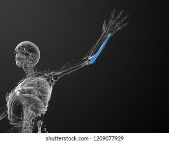 3d rendering medical illustration of the ulna bone - bottom view