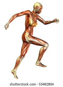 3D rendering of the muscle when the woman running