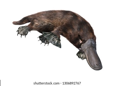 3D rendering of a platypus or Ornithorhynchus anatinus isolated on white background
