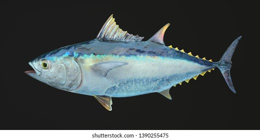 3d rendering of realistic style illustration with yellowfin tuna isolated on black background. Detailed texture. Commercial fish species. Close up. Side view