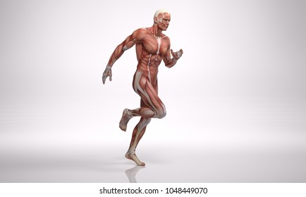 3D Rendering :  a running male body illustration with muscle tissues display