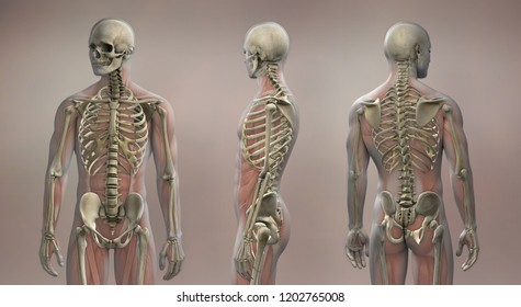 Anatomy Images, Stock Photos & Vectors | Shutterstock