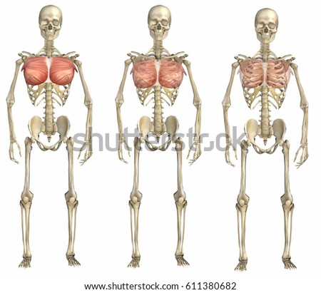 3 D Rendering Skelton Pectoral Muscle View Stock Illustration ...