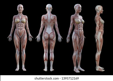 3D Rendering. a standing female body illustration with muscle tissues display on Black background