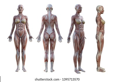 3D Rendering. a standing female body illustration with muscle tissues display on White background